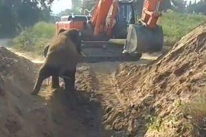 6 tiếng máy xúc đào giếng giải cứu voi con