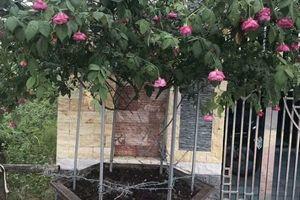 Cười ngất với tên trộm 'bá đạo': Để lại cành hoa làm kỷ niệm cho gia chủ, chỉ lấy gốc cây mang đi vừa nhẹ thân lại dễ vận chuyển