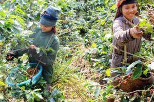 Cà phê Sơn La thơm mùi hoa, ít vị đắng sắp tấn công 'chợ' thế giới