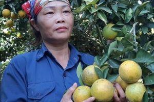 Mùa vàng 'thủ phủ' cam Cao Phong: Nông dân thu vàng từ trái vàng