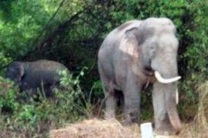 Đàn voi rừng tiếp tục phá hoại hoa màu của người dân ở Đồng Nai