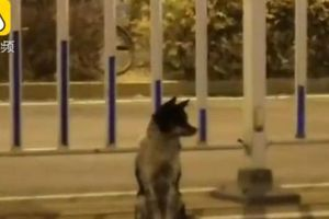 Chó ngồi chờ tại nơi chủ qua đời suốt 80 ngày