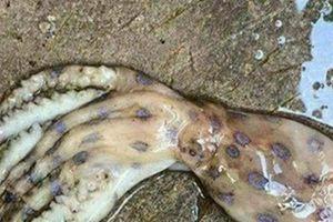 Xuất hiện loài mực cực độc ở đảo Phú Quốc là thông tin 'nhảm nhí', 'giật gân'