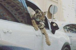 Sư tử con trong siêu xe Lamborghini