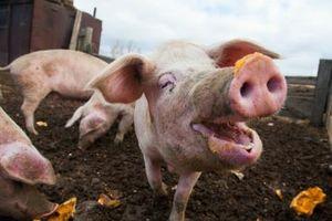 Hàn Quốc siết chặt kiểm dịch phòng dịch tả lợn châu Phi lây lan