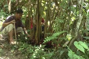 Lai Châu: Trồng cây thảo quả góp phần nâng cao đời sống người dân và bảo vệ rừng