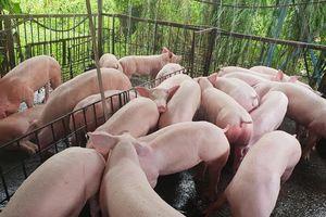 Giá heo hơi hôm nay (13/11): Miền Nam, miền Trung nhiều biến động