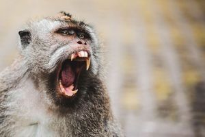Khỉ nuôi cắn nát tay người phụ nữ