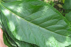 Bất ngờ với loại cây mọc hoang có công dụng ngăn ngừa ung thư vú