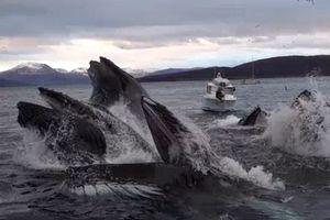 Cá voi lưng gù dàn trận tóm gọn bầy cá nhỏ
