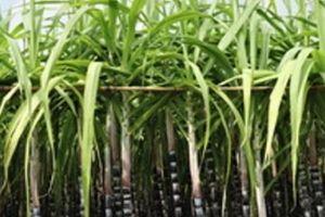 Indonesia công nhận giống mía biến đổi gen đầu tiên có lượng đường tăng 30%