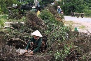 Cây dại làm củi bỗng được săn lùng, đào cả gốc bán sang Trung Quốc