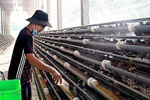 Chỉ nuôi chim cút mà 'đút túi' 200 triệu đồng mỗi tháng