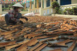 Quảng Ngãi: Dân đổ xô trồng quế