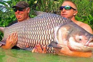 Chiêm ngưỡng cá chép Xiêm khổng lồ bắt ở sông Mê Kông