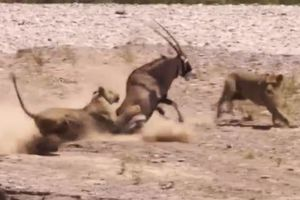 2 con sư tử hung hãn truy sát linh dương và cái kết đầy bất ngờ