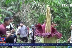 Hoa khổng lồ 10 năm mới nở ở Indonesia