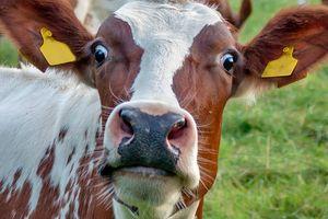 Ngạc nhiên với những sản phẩm được làm từ các bộ phận của bò chúng ta vẫn dùng hàng ngày