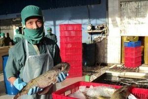 Quảng Ngãi: Doanh nghiệp đề nghị thu mua cá nóc để chế biến, xuất khẩu