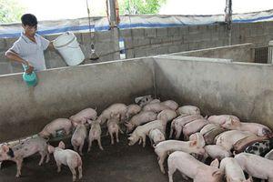 Nhiều giải pháp đẩy mạnh phát triển chăn nuôi hữu cơ