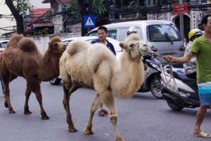 Lạc đà sa mạc bỗng 'đi lạc' vào phố Hà Nội khiến nhiều người bất ngờ