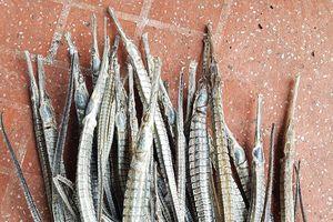 Thương lái bí ẩn thu mua cá ngựa xương ở Cà Mau dần lộ diện
