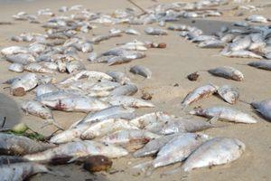 Vụ cá chết dạt trắng bờ biển Đà Nẵng: 'Cá chết không phải do đánh mìn'