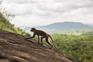 Thêm một trẻ sơ sinh ở Ấn Độ qua đời do khỉ bắt cóc và giết hại