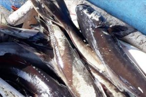 Khánh Hòa: Vì sao cá bớp lồng bè chết hàng loạt?
