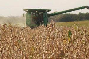 'Canh bạc' đậu tương của nông dân Mỹ