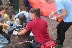 Giải cứu gấu ngựa 140 kg nuôi nhốt 16 năm