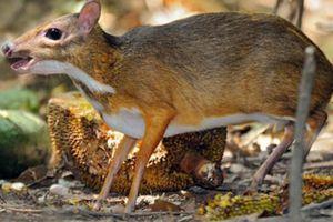 Khám phá con cheo cheo, động vật rừng quý hiếm VN