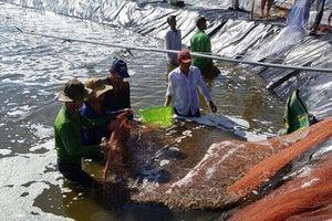 Cà Mau: Nông dân giàu nhờ 'chuẩn VietGAP'