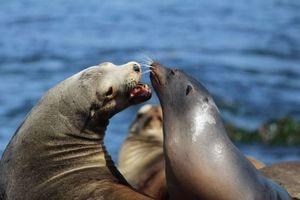 Hải cẩu Nam Mỹ sống mòn vì chất thải nhựa