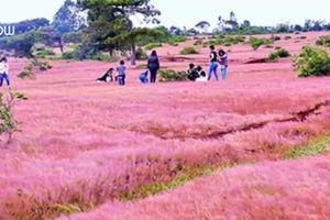 Chiêm ngưỡng đồi cỏ hồng bạt ngàn, đẹp huyền ảo ở Tây Nguyên