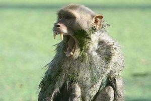 Khỉ hoang tiếp tục cắn chết một phụ nữ sau khi giết bé 12 ngày tuổi