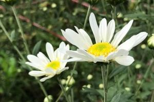 Loài hoa này có sức hút 'khủng khiếp' dù hoa bé, nụ nhiều