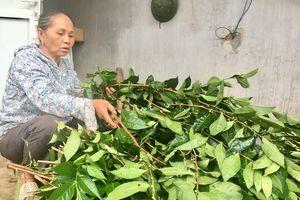 Trồng cây chát chát, bẻ cành, bán lá thu 20 triệu/tháng