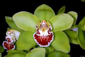 Hoa phong lan Nongke Thâm Quyến giá hơn 4,6 tỷ đồng một cây