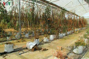 Nháo nhào dự án, đất hoang lấn át rau hoa xứ lạnh Măng Đen
