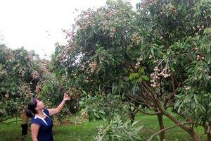 Thái Nguyên phát triển cây ăn quả chất lượng cao