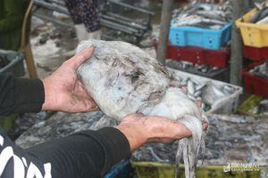Ngư dân Nghệ An trúng đậm mực nang thu hàng trăm triệu đồng/tàu