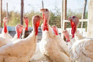 Mỹ thu hồi 41 tấn gà tây nhiễm vi khuẩn salmonella trước lễ Tạ ơn