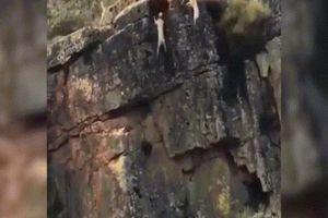 Cảnh ghê hồn khi đàn chó săn dồn nai đến mép vực núi