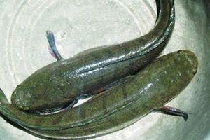 Cá lóc- thực phẩm cực tốt mà nhiều người Việt không biết
