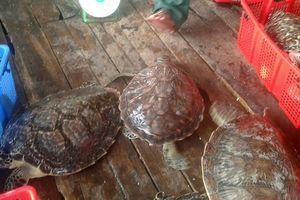 Phú Quốc: Khởi tố đối tượng thu mua rùa biển quý hiếm