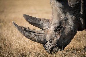 Clip: Đây là lý do sừng tê giác quý hơn vàng
