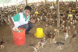 Tổng đàn gà tăng trưởng 'nóng'