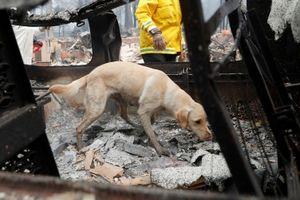 Chó nghiệp vụ Mỹ lùng sục tìm kiếm tử thi vụ cháy rừng California