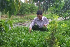 Dưới tán vườn xoài 'dúi' cây ngò gai, tháng thu lai rai có...17 triệu
